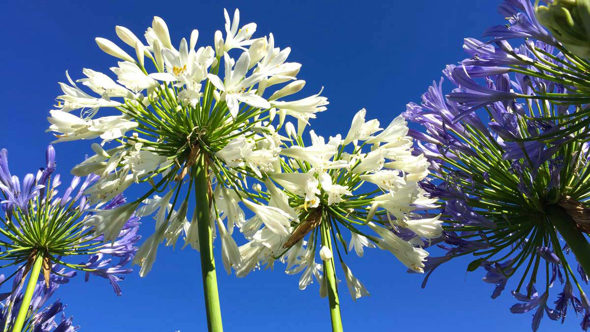 Mixed Agapanthus the-best-varieties-of-aquatic-grassy-floriferous-perennial-plants