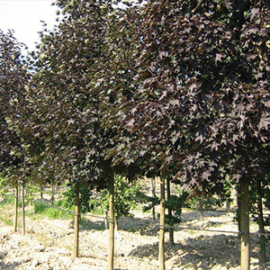 Acer-platanoides-'Faassen's-Black