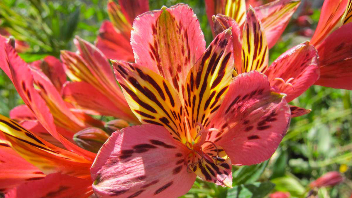 Alstromeria-многоцветные-водные-злаковые-растения-питомник-Пистойя