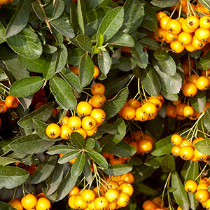 arbustes -Pyracantha-'Soleil-D'or'