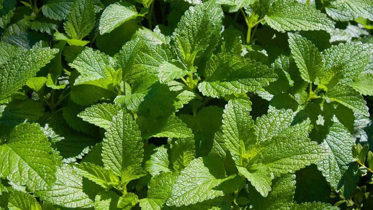 Aromatiche-piante-fiorifere-acquatiche-graminacee-vendita-Toscana