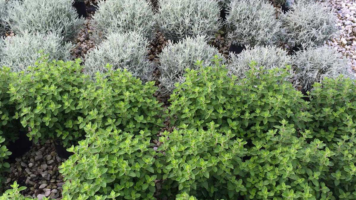 Herbs-floriferous-aquatic-grassy-plants-nursery-Tuscany