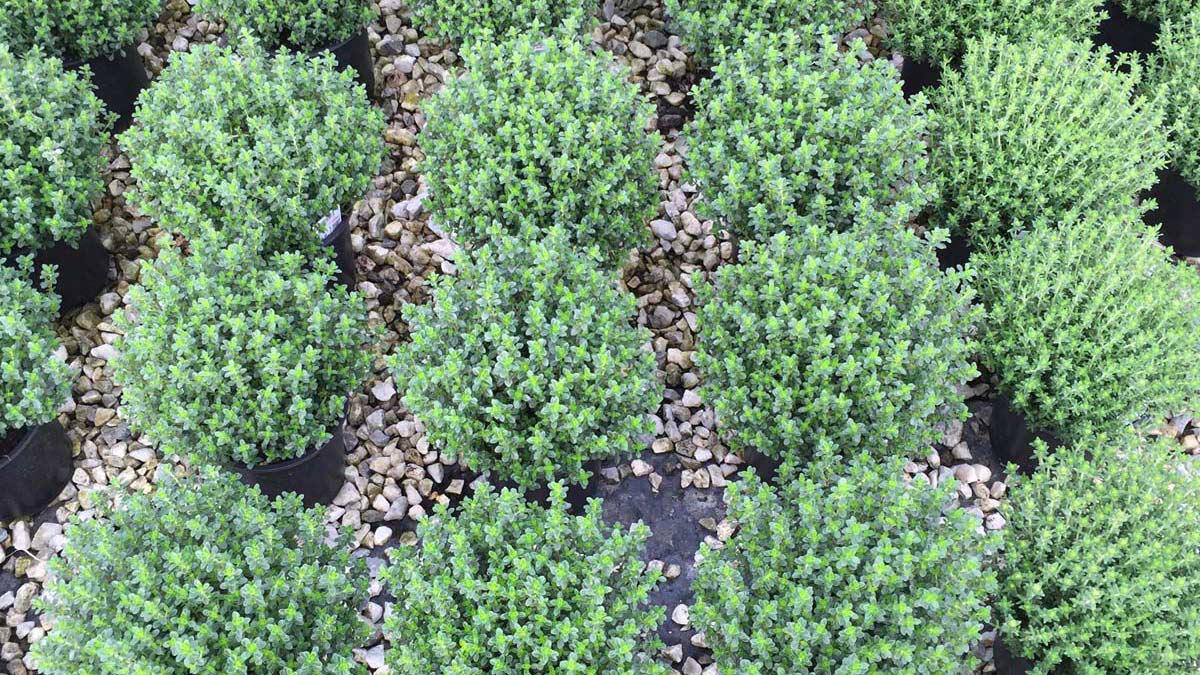 Frische Kräuter-Staudenblumen-Blütenpflanzen-Wasserpflanzen