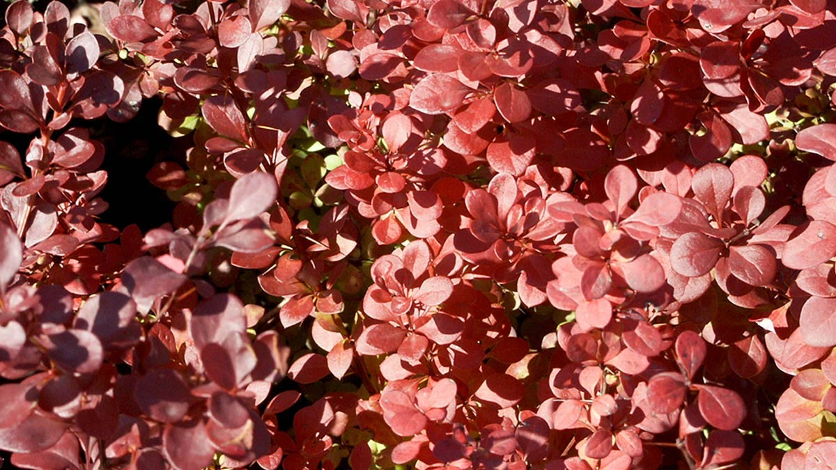 Berberis-thunbergi-Atropurpurea-some of the-best-varieties