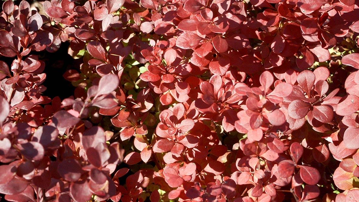 Berberis-thunbergi-Atropurpurea-some of the-best-varieties