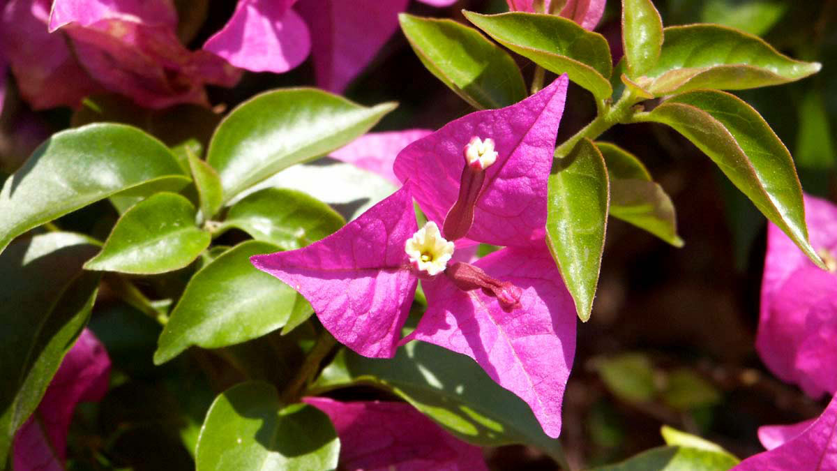 Bougainvillea-best-varieties-of-vines