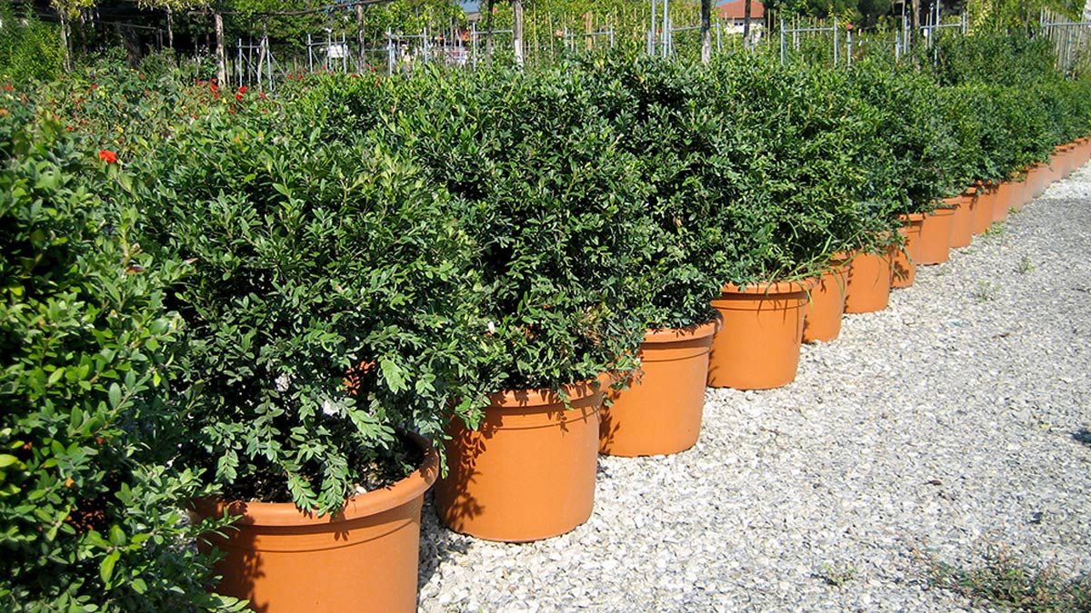 Ball-trained for hedges-sales-Pistoia