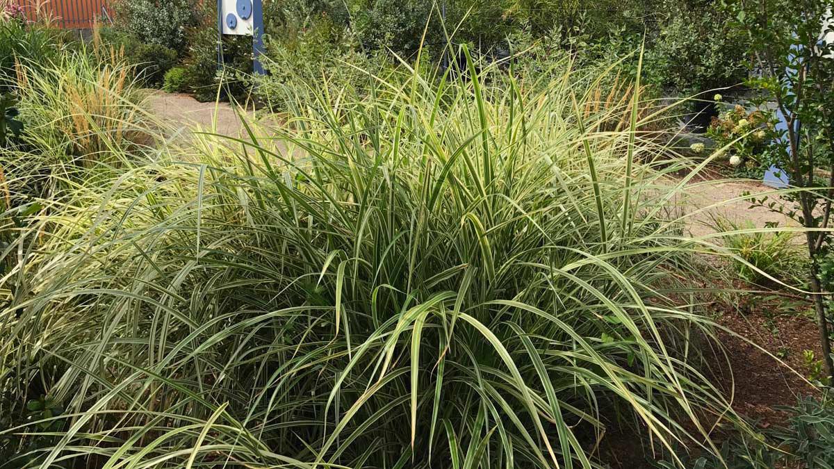 Carex-ochinensis-многоцветные-водные-злаковые-растения-разведение-Тоскана