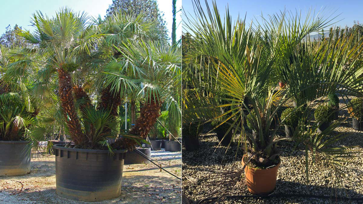 Chamaerops-humilis-et-Butia-palmiers-vente-Pistoia
