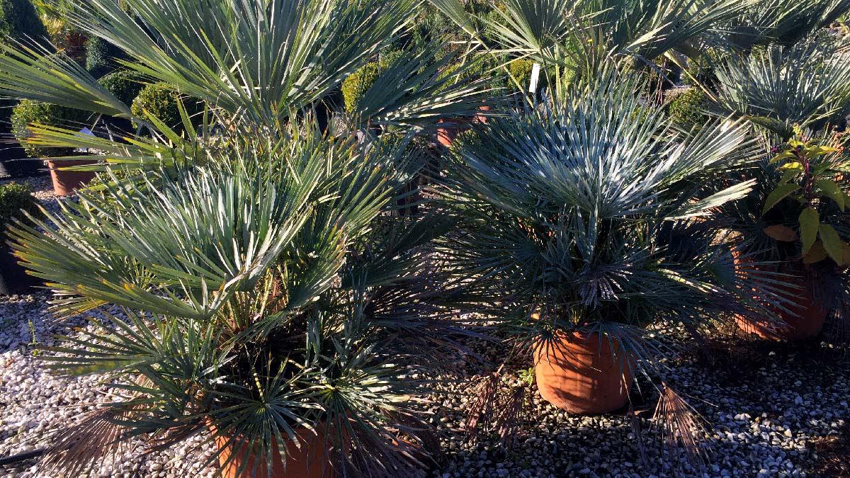 Chamaerops-humilis-palmacées-pépinière-Pistoia