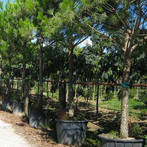 Nadelbäume-Pinus-pinea