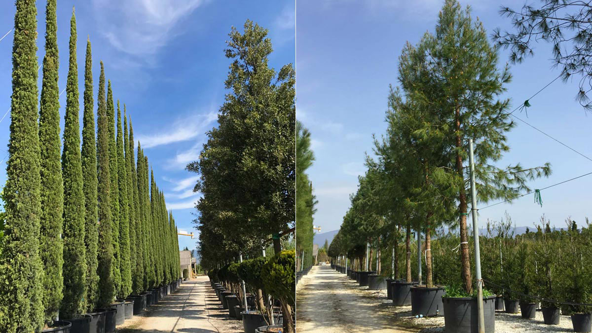 Cupressus-sempervirens-some of the-best-varieties