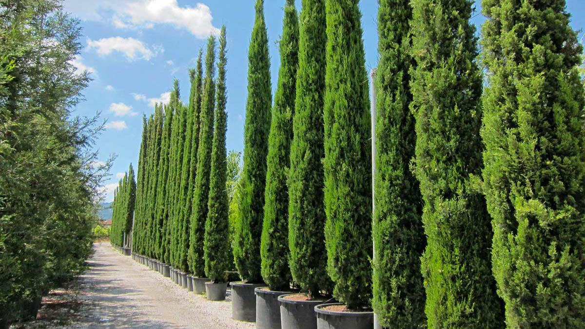 Cupressus-sempervirens-pyramidalis-conifere-vendita-Pistoia