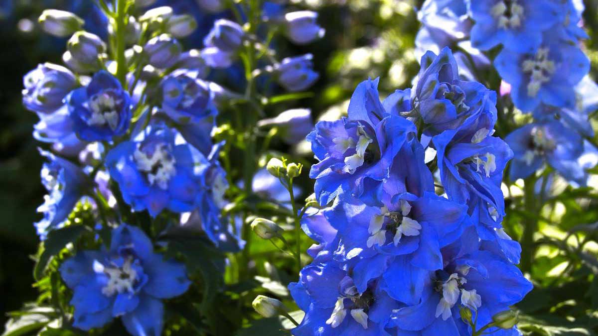 Delfinium-piante-fiorifere-acquatiche-graminacee-coltivazione-Toscana