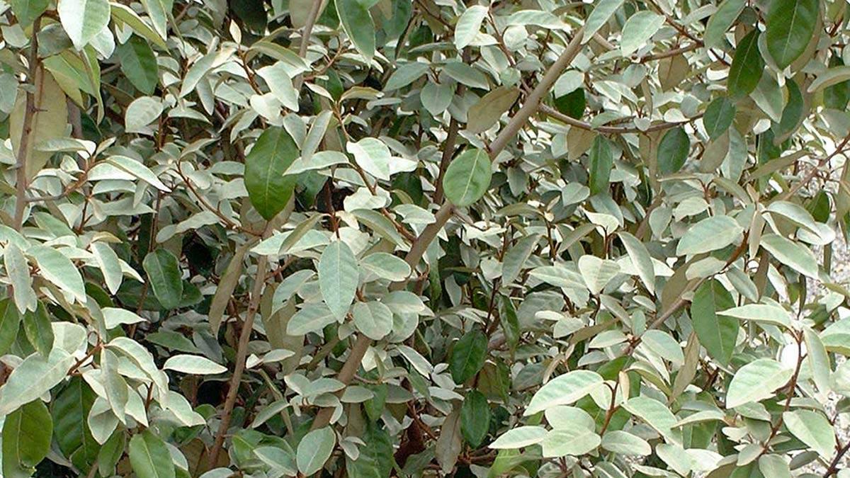 Elaeagnus-ebbingei-кустарники-и-живые-изгороди-для-садов-Пистойя