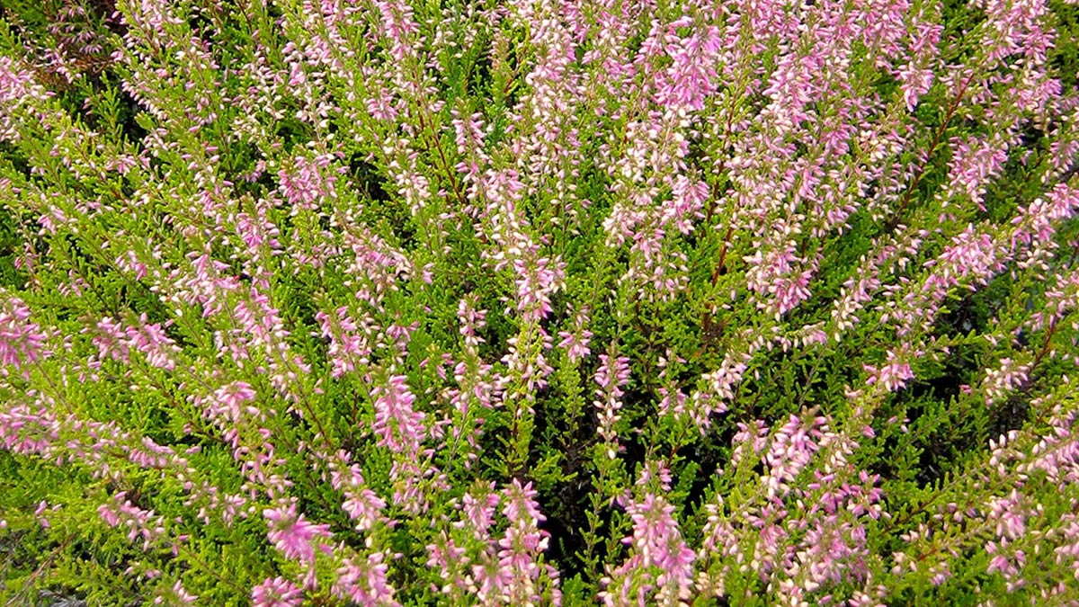 Erica-plantes sélectionnées