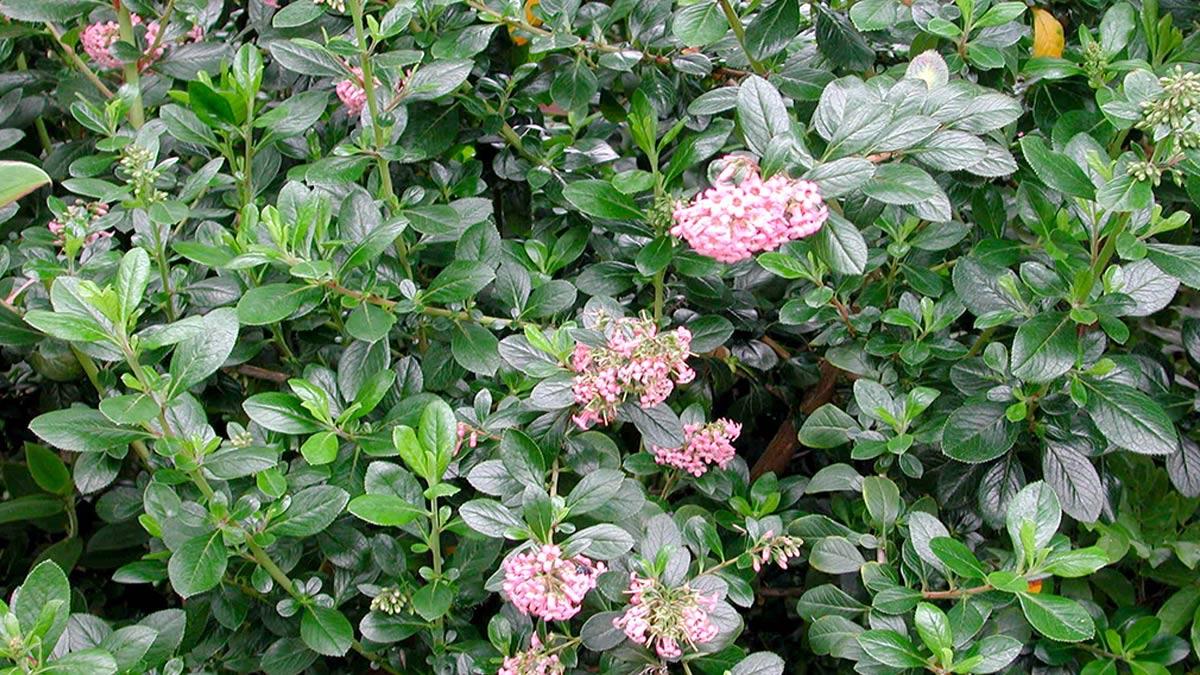 Escallonia-floribunda-для-защитных-изгородей-Тоскана