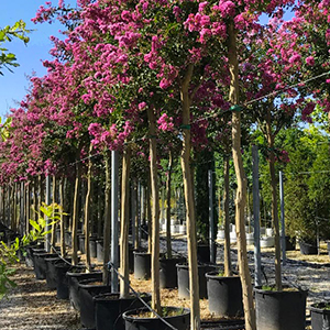 Étiquette-Or-Lagerstroemia-indica