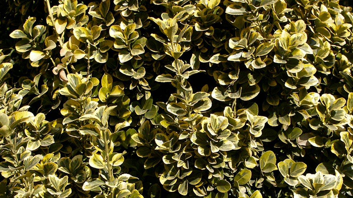 Euonimus-japonicus-Pulchellus-Aurea-pépinière-Toscane