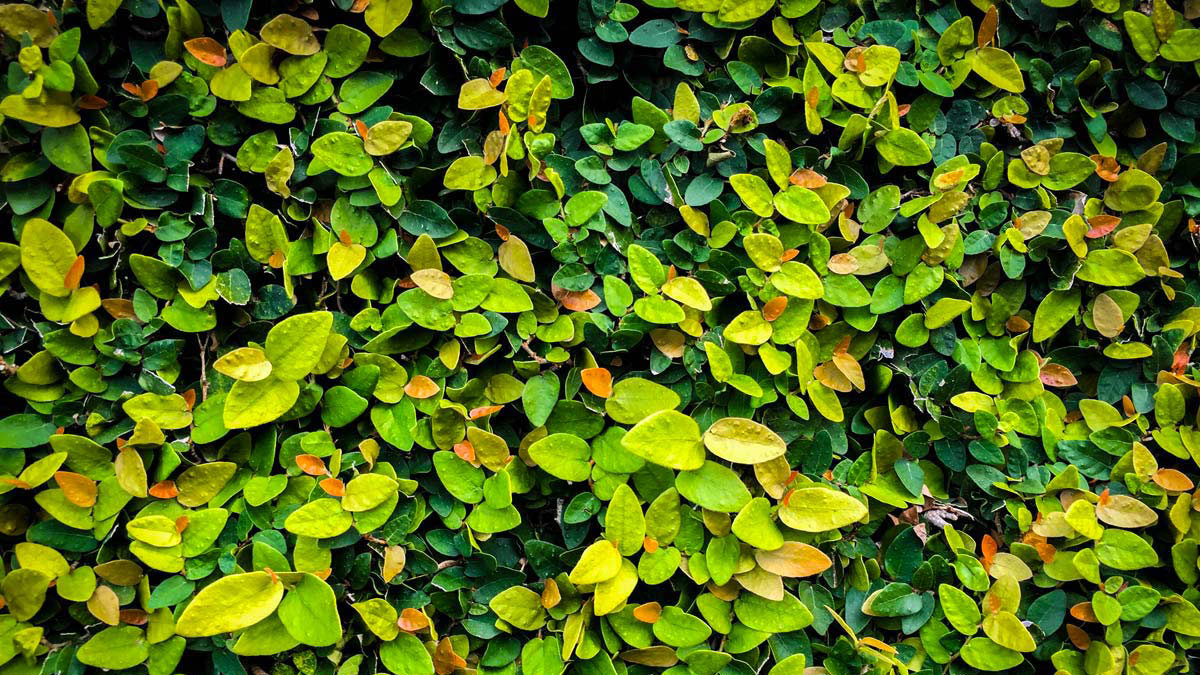 Ficus-repens-for-privacy-screens-green-walls-nursery-Pistoia