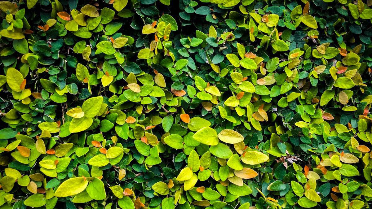 Ficus-repens-für-Abschirmungen-grüne-Wände-Baumschule-Pistoia