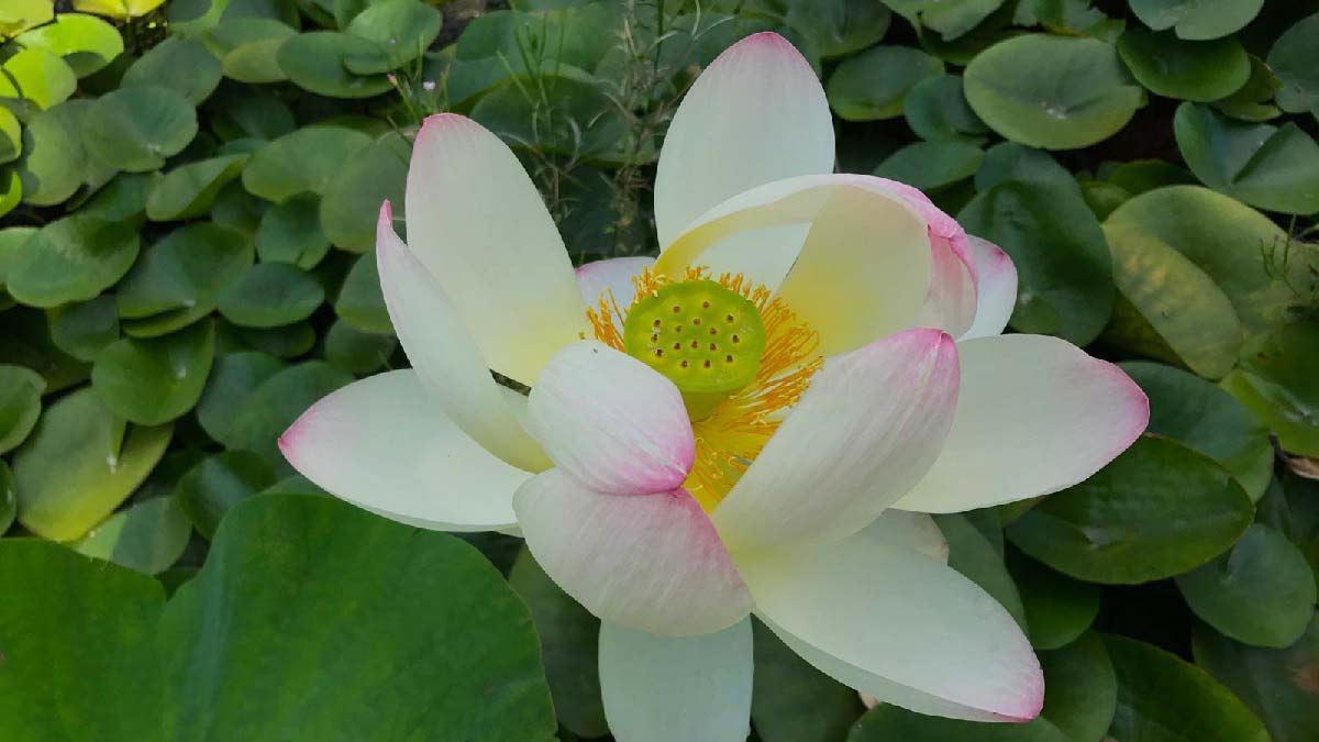 Цветок лотоса Nelumbium nucifera-многоцветные-водные-злаковые-растения
