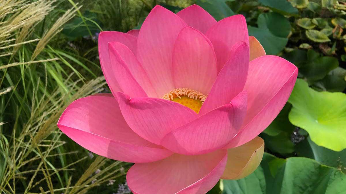 Цветок лотоса Nelumbium nucifera-растения-для-сада-Пистойя