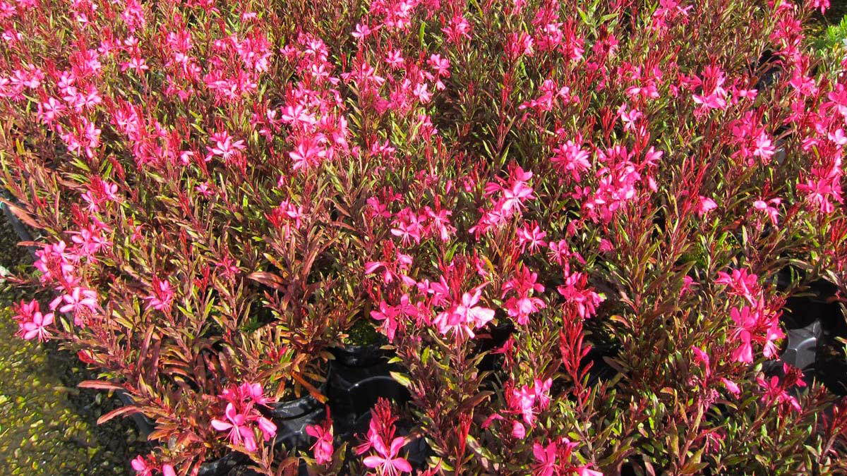 Gaura-ornamentals-for-the-garden -Pistoia