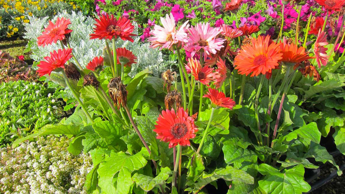 Gerbera-Blütenpflanzen-Wasserpflanzen-Süβgräser-Baumschule-Toskana