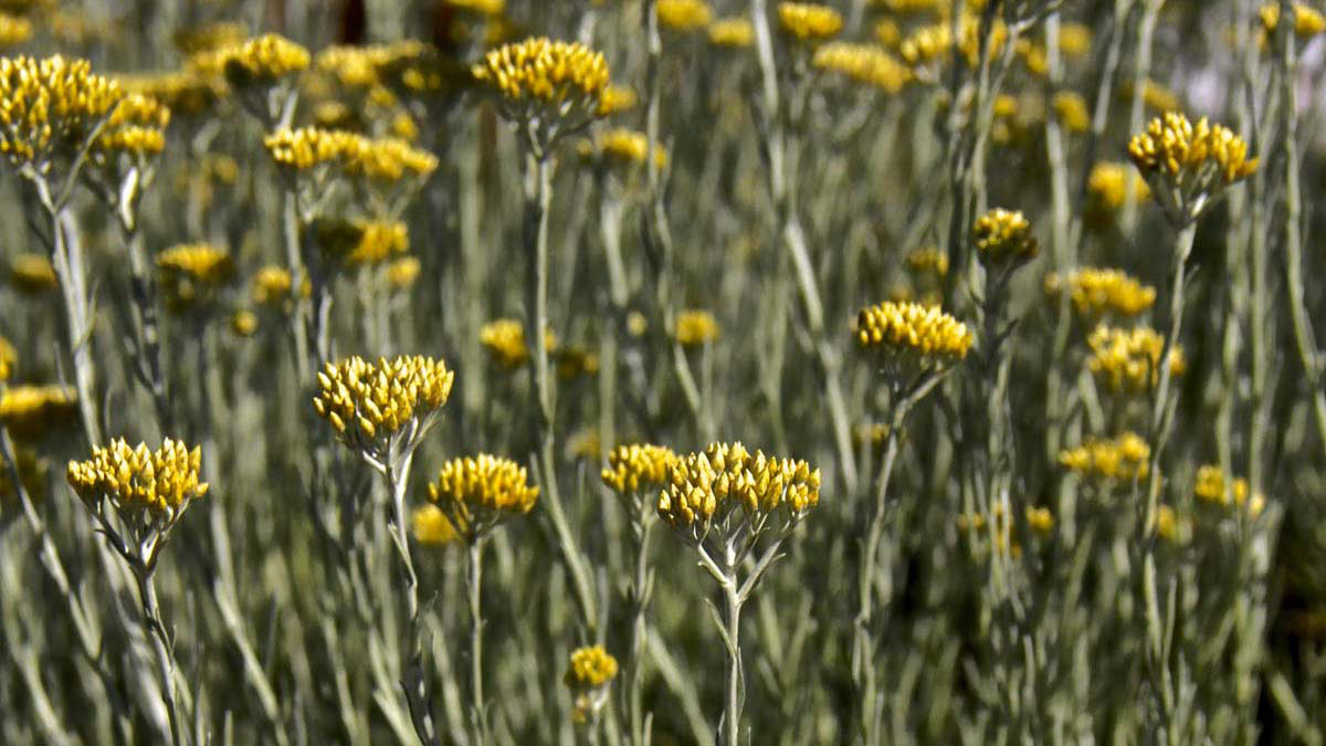 Helicrysum-italicum-декоративные-растения-продажа-Тоскана
