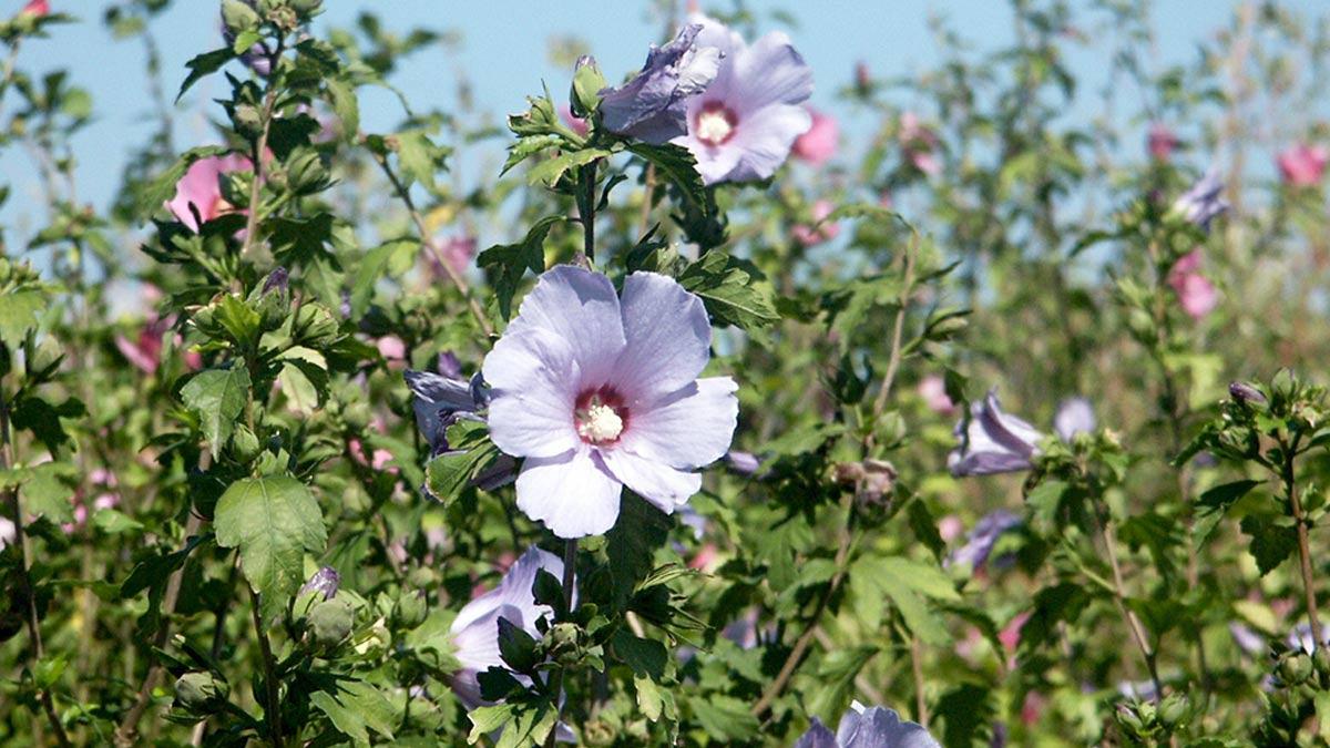 Hibuscus-siryacus-coltivazione-Toscana