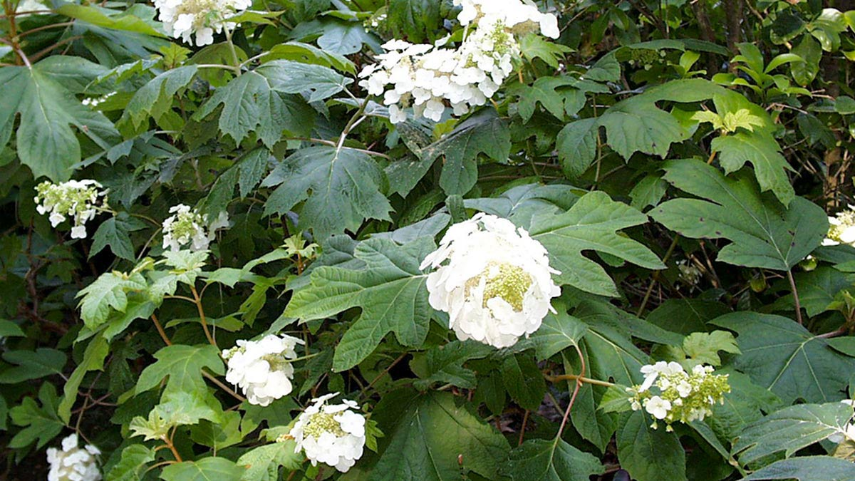 Hydrangea-quercifolia-кустарники-отборные-продажа