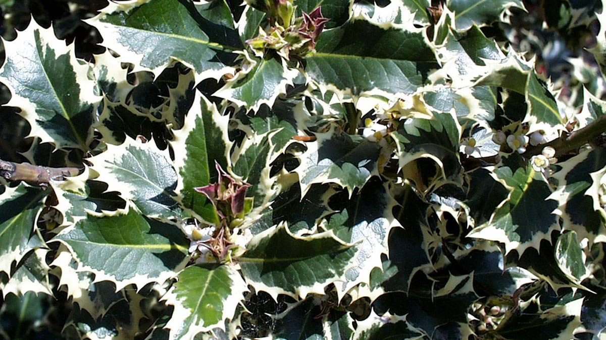 Ilex-aquifolium-Aurea-Marginata-отборные-солитеры-в-коме-земли