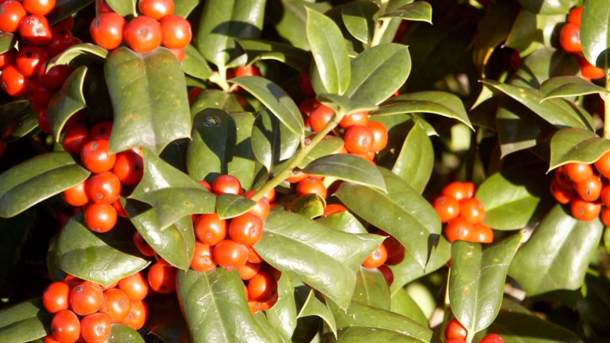 Ilex-cornuta-растения-в-вазе
