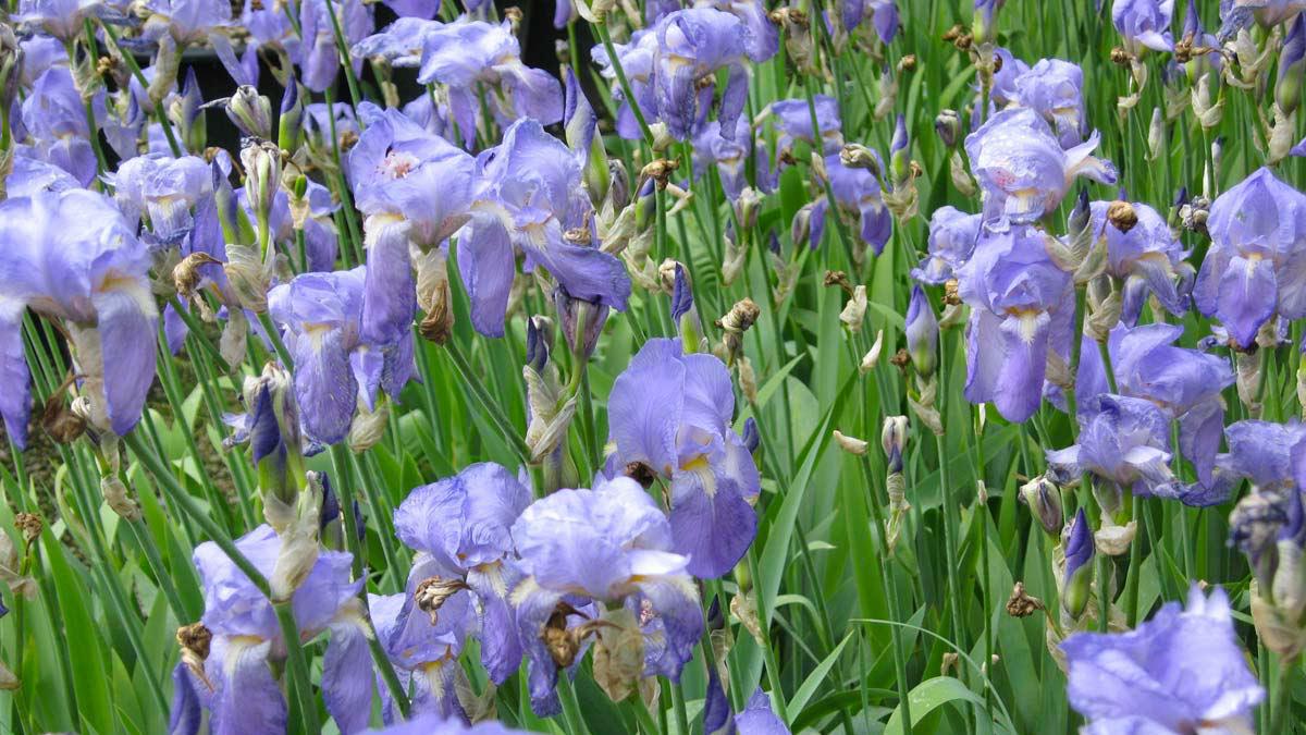 Dalmatian Iris pallida -floriferous-aquatic-grassy-plants-sales