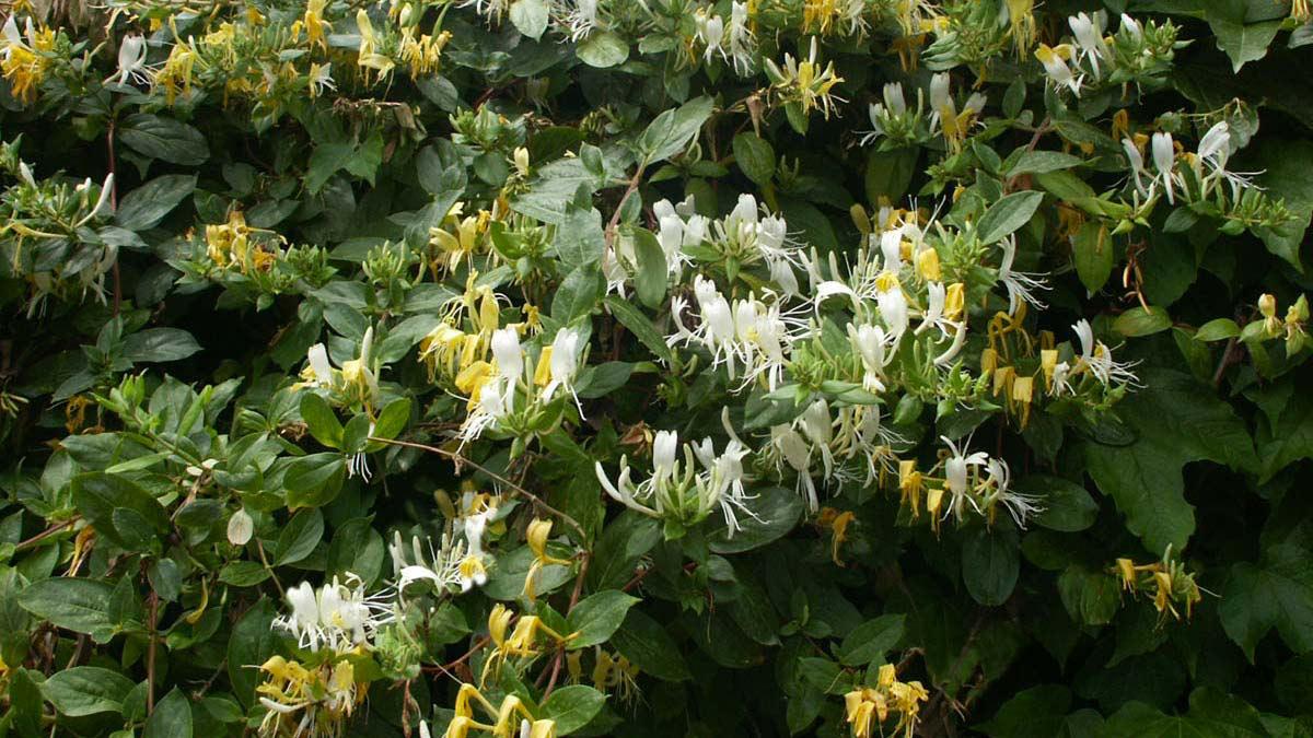Lonicera-caprifolium-для-защитных-изгородей-продажа-Тоскана