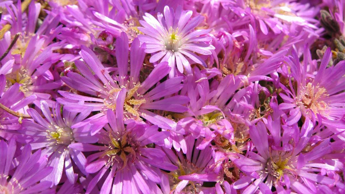 Mesembryanthemum-cooperi-Blütenpflanzen-Wasserpflanzen-Süβgräser