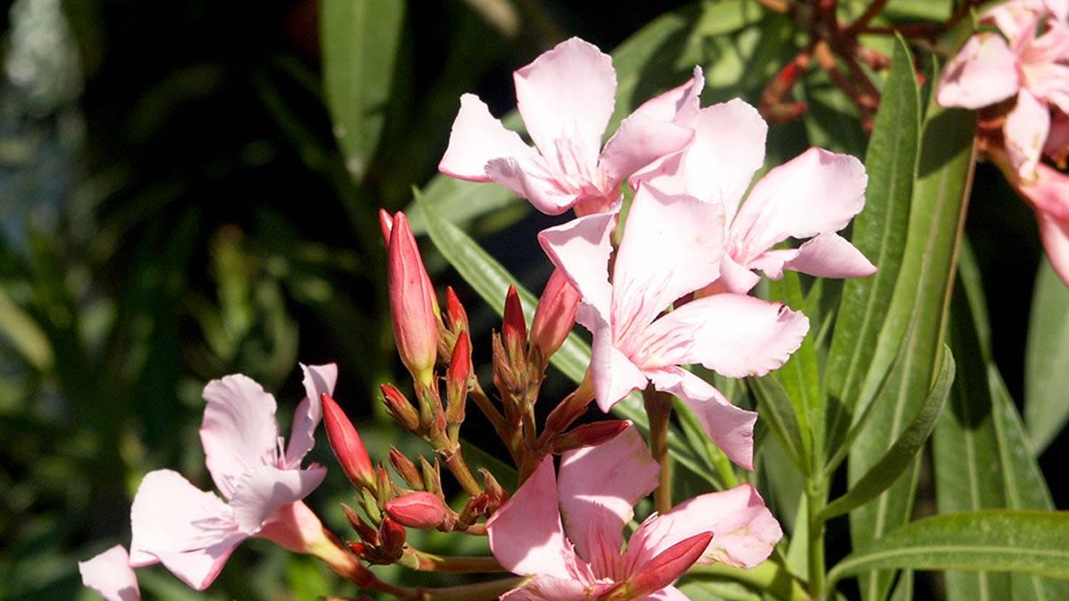 Nerium-oleander-pour protections-pépinière-Pistoia