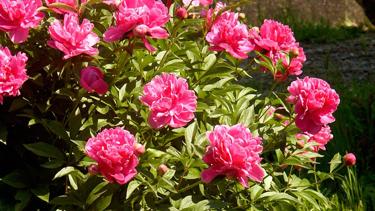 Paeonia sinensis для-сада-Пистойя