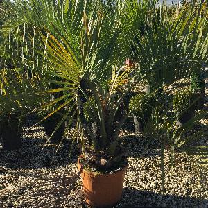 Palmengewächse-Butia-capitata