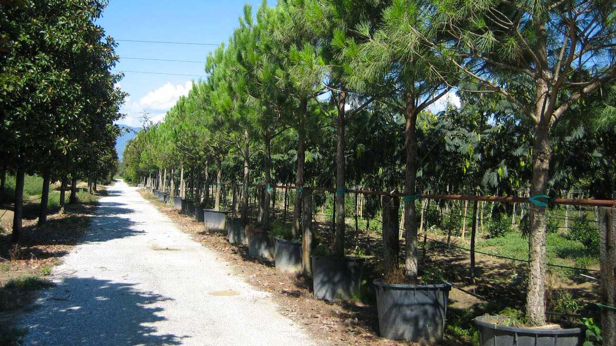 Pinus-pinea-conifère-pépinière-Pistoia