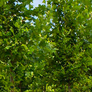 "Platanus Platanor ""Vallis Clausa"" ® grown in containers"
