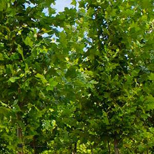 """Platanus Platanor """"Vallis Clausa"""" ® im Topf angebaut"""