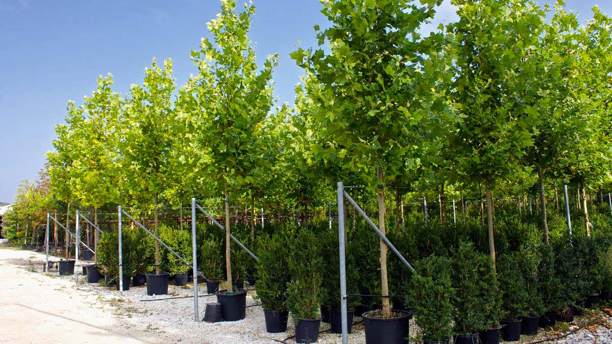 "Platanus Platanor ""Vallis Clausa""® grown in containers"