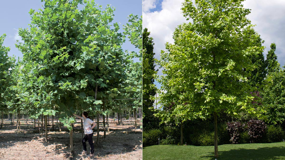 Platanor- Platanus-for urban areas