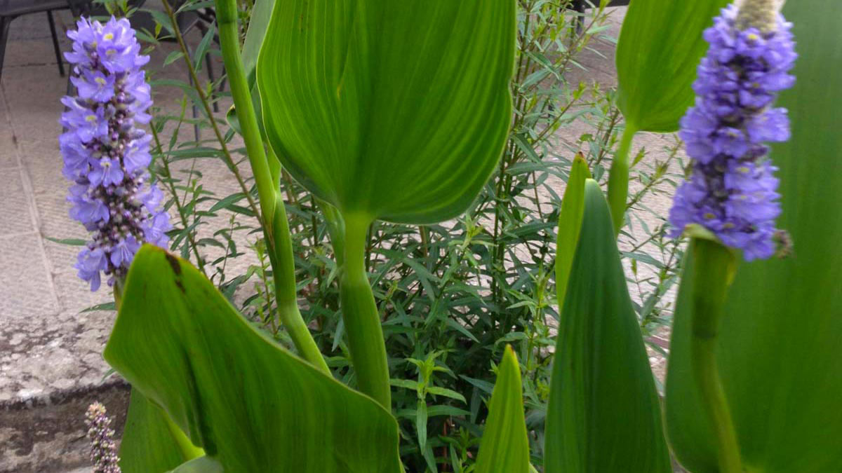 Pontederia-cordata-Blütenpflanzen-Wasserpflanzen-Süβgräser-Baumschule-Toskana