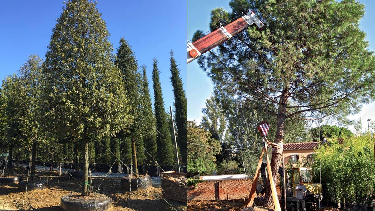 Quercus ilex und Pinus pinea groβe-Pflanzen-MATI-1909