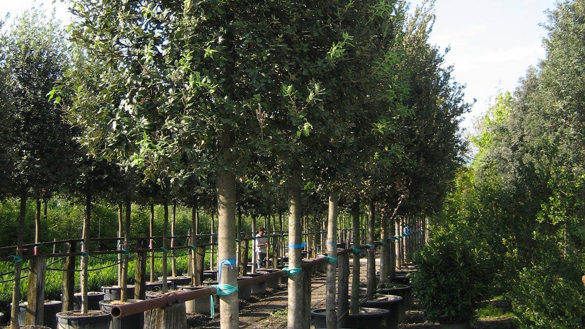 Quercus ilex-für-den-Garten-Pistoia