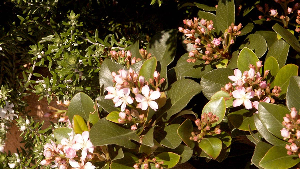Raphiolepis umbellata shrubs-cultivation-Tuscany