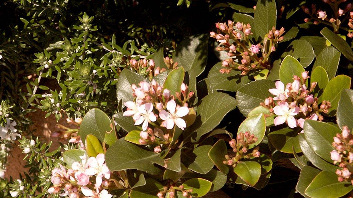 Raphiolepis umbellata arbustes-culture-Toscane